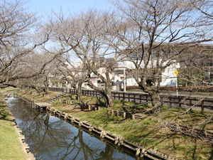新河岸川桜16日A.JPG