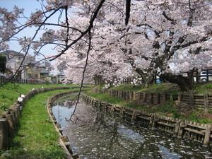 桜4月1日B.JPG