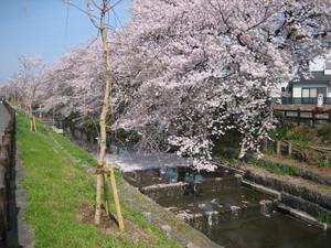 桜4月1日C.JPG