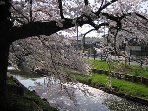 桜4月1日.JPG