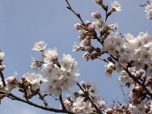 3月29日さくら2.JPG