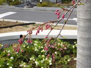 3月29日美術館桜.JPG