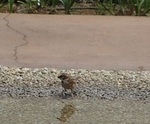 水辺の雀.JPG