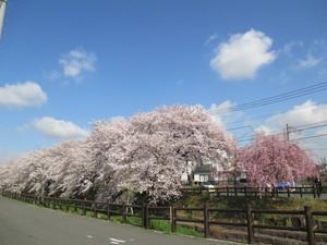 新河岸桜1.JPG