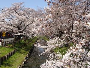 2017.4.4桜2.JPG