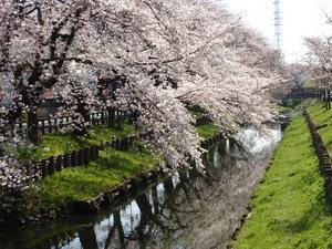 2017.4.4桜.JPG